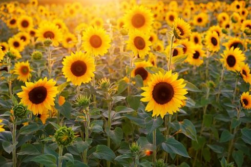 sunflower-3550693__340